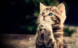 Loài mèo đẹp nhất thế giới