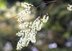 Mùa hoa đẹp nhất tháng ba của Hà Nội