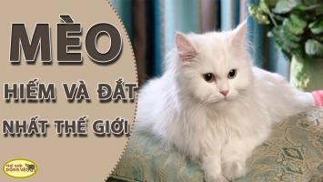 Giống mèo đắt nhất thế giới