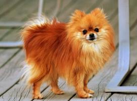 Loài chó nhỏ nhất và dễ thương nhất thế giới