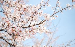 địa điểm thưởng thức hoa anh ở Hàn Quốc có thể bạn muốn biết