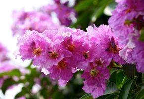Bài thơ hay nhất về hoa bằng lăng