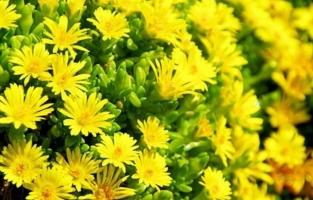 Bài thơ hay về hoa cúc