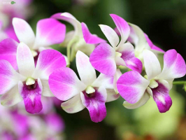 Bài văn tả hoa lan hay nhất