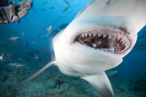 Loài cá mập hung ác nhất của đại dương