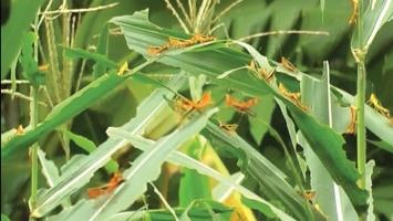 Cách tự pha chế thuốc sinh học diệt sâu bệnh cho cây trồng