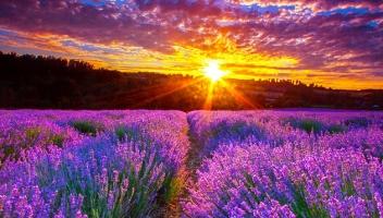 Cánh đồng hoa oải hương đẹp nhất thế giới