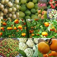 Cây ăn quả nổi tiếng nhất của Lạng Sơn