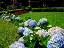 Cây cảnh độc hại được trồng phổ biến nhất hiện nay