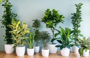Top 10  cây cảnh tuyệt đối không nên trồng trong phòng
