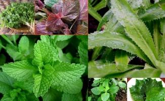 Loại cây làm gia vị có tác dụng chữa bệnh tuyệt vời nhất mà bạn nên trồng trong vườn nhà