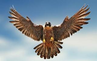 Loài chim bay nhanh nhất thế giới
