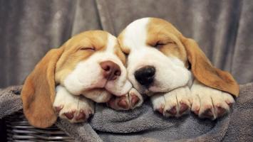 Loài chó cảnh được yêu thích nhất thế giới