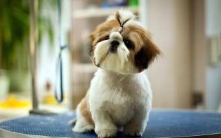 Cửa hàng bán chó cảnh uy tín và chất lượng nhất ở Hải Phòng