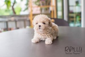 Cửa hàng bán chó poodle uy tín nhất ở Hà Nội và TPHCM