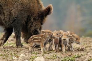 địa chỉ bán lợn rừng giống uy tín nhất tại Hà Nội