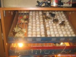 Địa chỉ cung cấp máy ấp trứng hàng đầu Miền Bắc