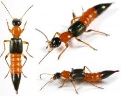 điều nên biết về kiến ba khoang