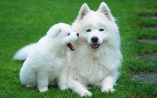 Top 11  giống chó cảnh được nuôi nhiều nhất ở Việt Nam