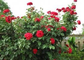 Top 10  Giống hoa hồng cổ đẹp nhất Việt Nam