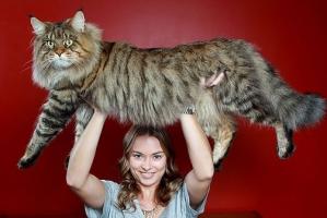 Giống mèo lớn nhất thế giới có thể bạn muốn biết