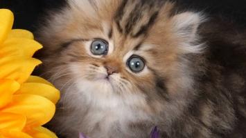 Giống mèo nhỏ nhất thế giới