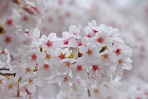 Loại hoa anh đào phổ biến nhất ở Nhật Bản