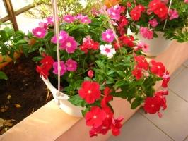 Loại hoa đẹp dễ trồng ở ban công