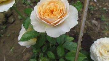 Loài hoa đẹp và đắt nhất thế giới