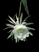 Loài hoa nở về đêm đẹp nhất