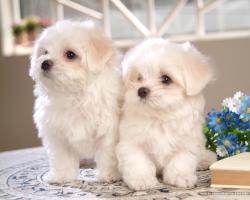 Kinh nghiệm nuôi và chăm sóc chó cảnh ở Việt Nam