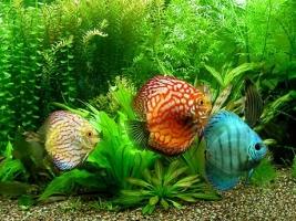 Loài cá cảnh đắt nhất trên thế giới