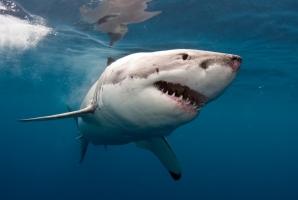 Loài cá mập nguy hiểm nhất đại dương