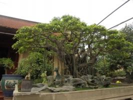 Loại cây cảnh quý hiếm giá tiền tỷ ở Việt Nam