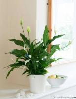 Loại cây ưa bóng râm mang lại không khí trong lành cho ngôi nhà bạn