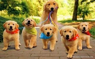 Loài chó cảnh thông minh nhất thế giới