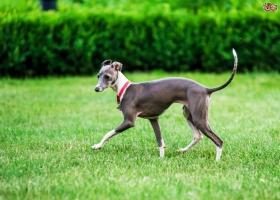 Loài chó chạy nhanh nhất trên thế giới sẽ khiến bạn kinh ngạc