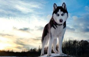 Loài chó đáng yêu nhất thế giới