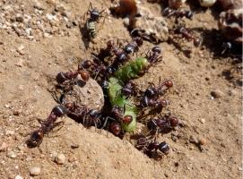 Loài côn trùng có nọc độc nguy hiểm nhất thế giới bạn phải đặc biệt chú ý