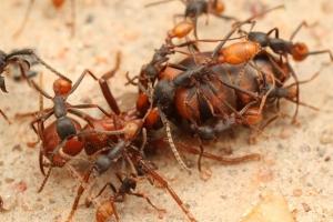 Loài côn trùng nguy hiểm nhất thế giới