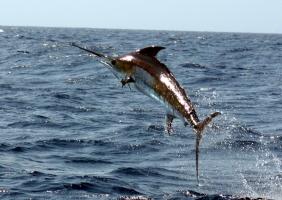 Loài cá bơi nhanh nhất thế giới