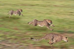 Loài động vật trên cạn có tốc độ nhanh nhất