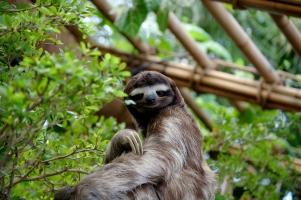 Loài động vật được mệnh danh là lười nhất thế giới