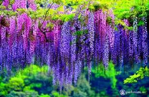 Loài hoa có hương thơm quyến rũ nhất thế giới