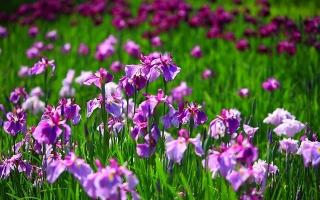 Loài hoa đẹp nhất thế giới
