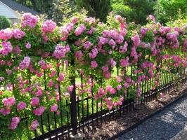 Loài hoa leo tường đẹp nhà mát cửa và dễ trồng nhất