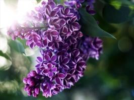 Loài hoa màu tím đẹp nhất