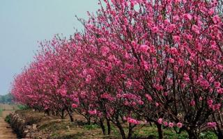 Loại hoa phổ biến nhất dịp tết miền Bắc