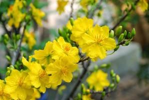 Loài hoa phổ biến nhất của ngày Tết cổ truyền Việt Nam