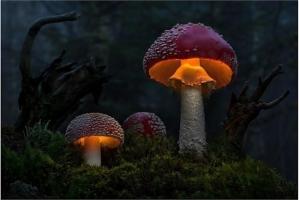 Loại nấm cực độc thường gặp  ở Việt Nam